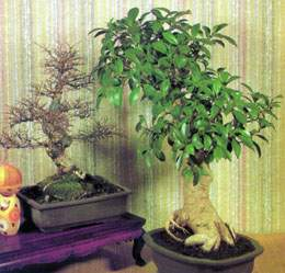 bonsai_00.jpg (14870 bytes)