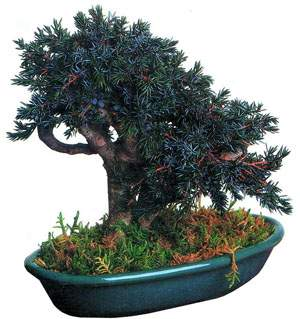 bonsai_01.jpg (19862 bytes)
