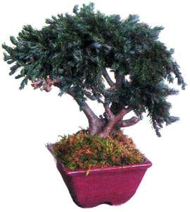 bonsai_03.jpg (13424 bytes)
