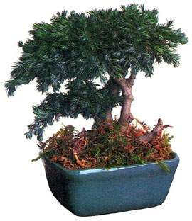 bonsai_04.jpg (16498 bytes)