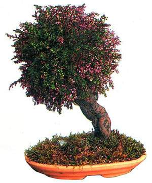bonsai_06.jpg (22690 bytes)