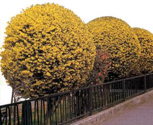 Aranyeső (aranyfa)