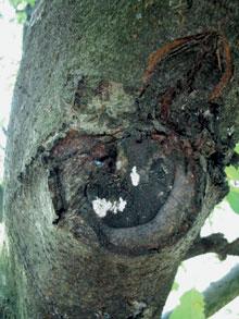 gombával fertőzött seb