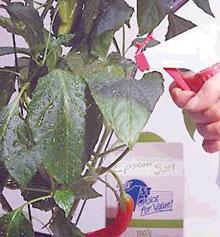 A folyékony lombtrágyát a növényvédő szerekkel együtt permetezhetjük a levelekre