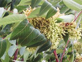 Ailanthus altissima (bálványfű)