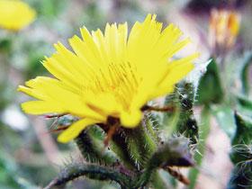 Gyermekláncfű virága