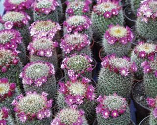 kaktuszok_PIC00004.jpg