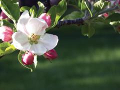 Gyümölcsfajok és terméskötésük
