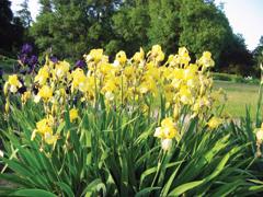 Az Iris barbata hibridek