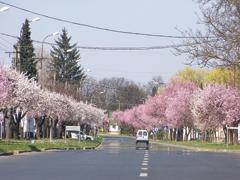 Közterületi fák