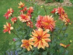 Tavaszi ültetésű hagymás-gumós virágok