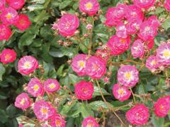 A rózsák fajtacsoportjairól