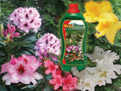 Rododendronok szakszerű táplálása