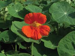Kertünk többcélú növényei