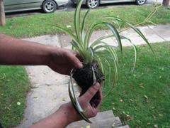Növényeink ifjítása