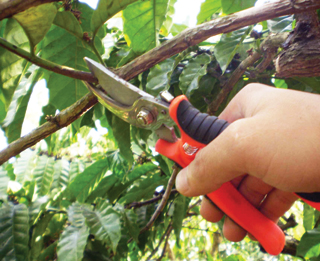 A zöldmetszésnél nagyobb a fertőzésveszély, mint ha lombhullás után metszünk