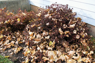 A kertben hagyott lomb növényvédelmi problémákat okozhat a következő évben