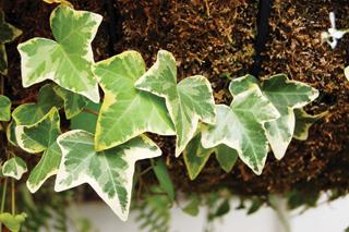borostyánok levelei örökzöldek, csak nagyon alacsony téli hőmérsékleten károsodnak