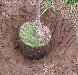A konténerben nevelt növények gyökérsérülés nélkül kiültethetők