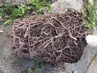A cserépbe beleöregedett gyökerű növények eleinte lassabban regenerálódnak és fejlődnek