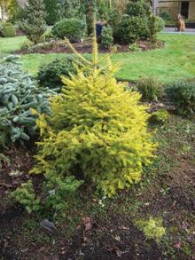 Fenyőkből is vannak színes levelű kertészeti változatok