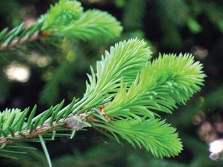 A duglászfenyő világosabb színével barátságos hangulatot áraszt. Karácsonyfaként nem hullajtja leveleit