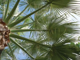 A pálmák nem lombkoronát, hanem levélüstököt fejlesztenek - de csak idősebb korukra