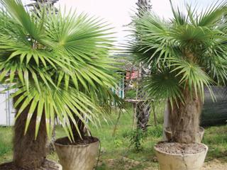 Viszonylag kis cserépben is nagyra képesek nőni a pálmák - gyökerük helyigénye kicsi