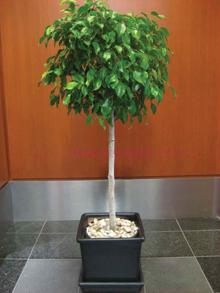A szobanövények cserepe idővel gátolja a gyökérnövekedést