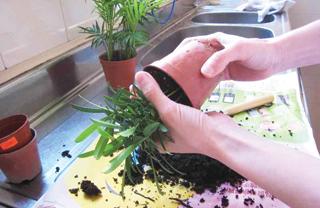 Átültetéskor a friss talaj és a nagyobb cserép jót tesz a gyökér-levélzet arány alakulásának