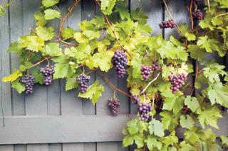 A szőlő futónövény, de jól formálható
